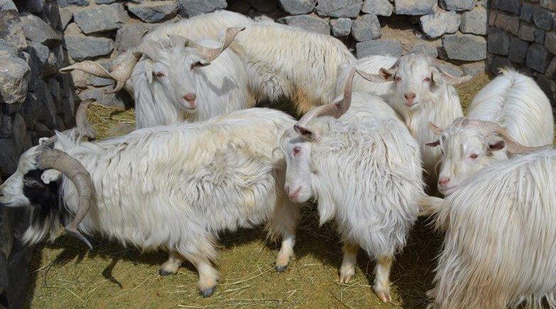 Pashmina Herd